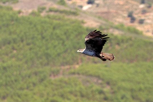 Bonelli´s Eagle, Aquila fasciata, eagle, raptor, bird