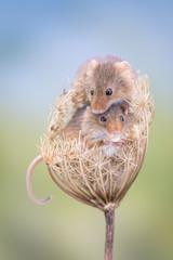 Cute mice sitting in a dry flower
