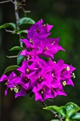 Foto auf Leinwand Blumenhändler A wild flower in Hikkaduwa in Sri Lanka.