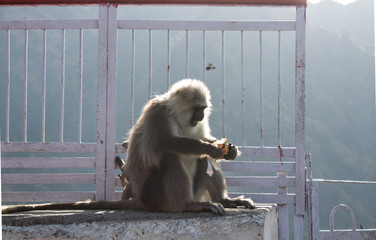 A baby monkey playing around with its mother eating biscuits from a packet. Naughty animals concept