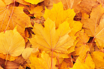 Autumn background of golden maple leaves on a ground. Wall mural