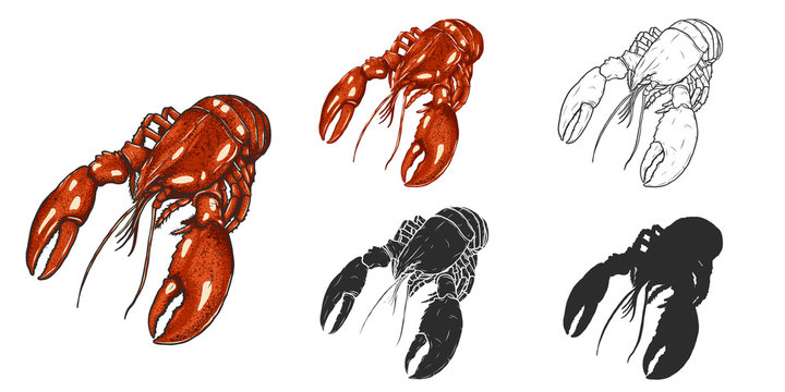 Set of lobster by hand drawing.Lobster vector silhouette on white background.Shrimp art highly detailed in line art style.Animal pictures for coloring.