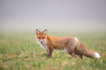 Mammals - European Red Fox (Vulpes vulpes) Wall mural