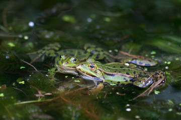 Photo Blinds Frog Koppel groene kikker
