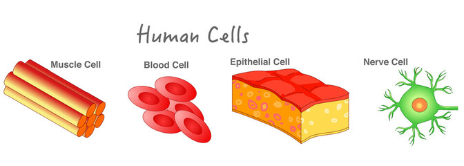 Human cells samples. Epithelial skin cell, Erythrocyte, muscle cell, blood cell, nerve neuron cell diagram. Biology lesson example. Dark background. Drawing line illustration. School, education vector