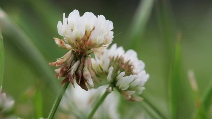 Fototapete - Wildlife macro. White clover flowers on blurred background of green field close-up. Natural background. Landscape, nature, summer.