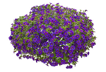 Türaufkleber Violett Cut out flowers. Purple flowers isolated on white background. Hanging flowers basket. Flower bed for garden design or landscaping. High quality clipping mask.
