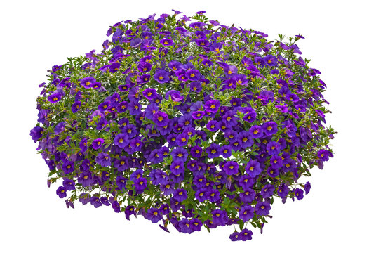 Cut out flowers. Purple flowers isolated on white background. Hanging flowers basket. Flower bed for garden design or landscaping. High quality clipping mask.
