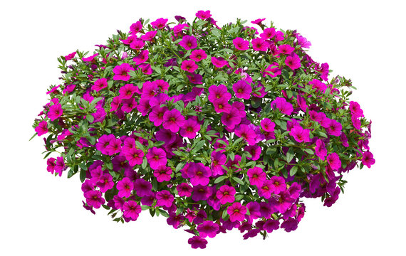 Cut out flowers. Pink flowers isolated on white background via an alpha channel. Hanging flowers basket. Flower bed for garden design or landscaping. High quality clipping mask.