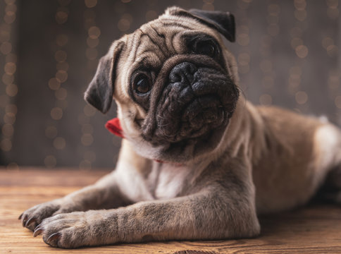 pug dog wearing bowtie lying down and staring at camera