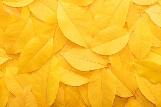 Background from autumn fallen leaves close-up. The texture of the yellow foliage.