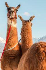 La pose en embrasure Lama Lama-Trekking
