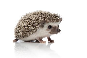 cute african hedgehog walking on white background