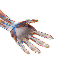 3d rendered medically accurate illustration of the anatomy of the hand