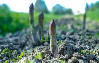 Ripe organic green asparagus growing on farmers field ready to harvest