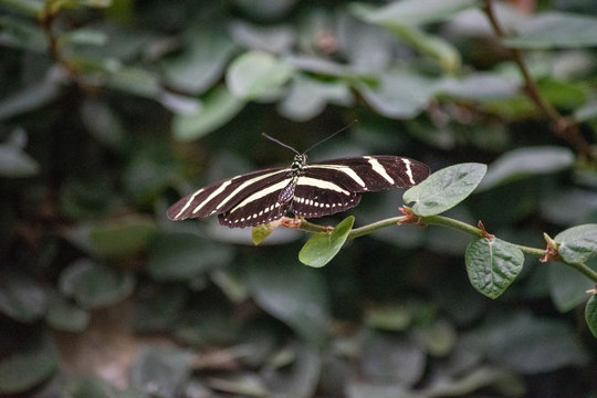 Heliconius charithonia, the zebra longwing butterfly.