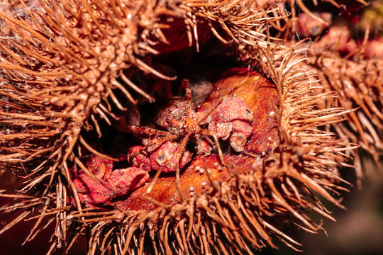Macro photo of an insect inside the urucum. Ripe seeds and some greens. This red plant(urucum) called annatto is originally from the Indians.