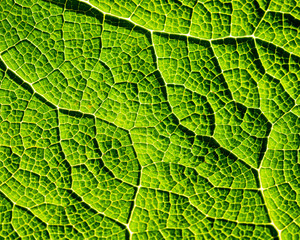 Aluminium Prints Macro photography A macro of giant kale leaves show off the cells