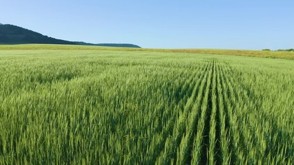 Fototapete - Meadow of wheat at day. Nature aerial composition.