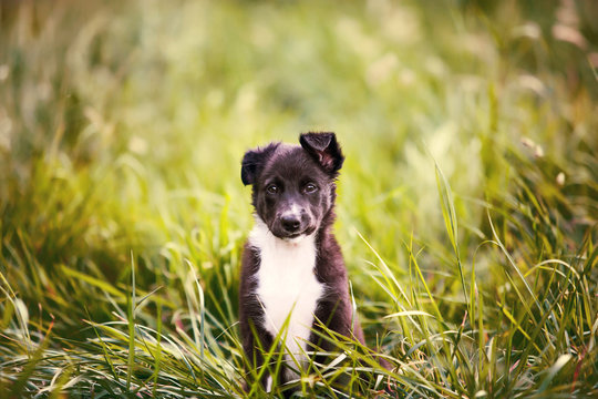 Playful puppy sitting on a green gras in a beautiful sunset in a city park. Border Collie Puppy Sitting in green grass.