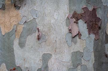 close up of plane tree bark,texture.