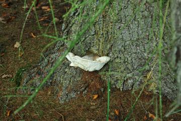 Pilz wächst an einem Stamm einer Tanne
