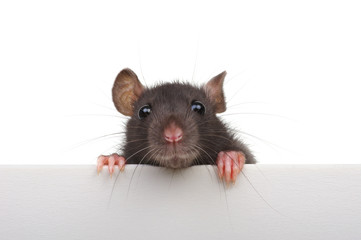 Funny rat isolated on white background. Fototapete