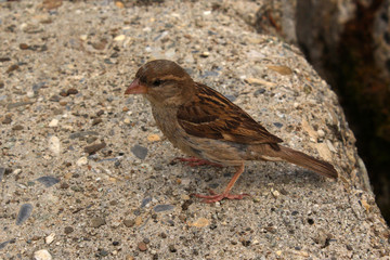 House Sparrow (Passer domesticus) sitting on stones