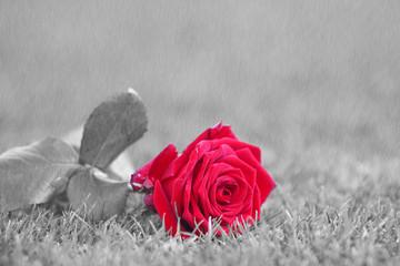 Rote Rose liegt weggeworfen bei Regen im Gras