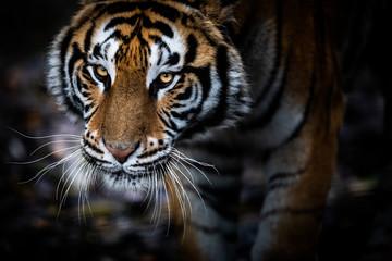 Fotobehang Tijger Portrait of a Tiger with a black background