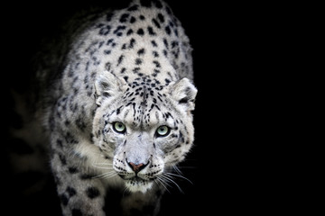Foto auf Leinwand Leopard Snow leopard with a black background