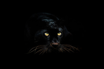 Zelfklevend Fotobehang Panter Black panther with a black background
