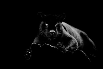 Foto auf Leinwand Panther Black jaguar with a black background