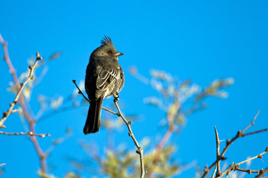 Female Phainopepla or Silky Flycatcher against a blue sky in the Mojave Desert of southern Nevada
