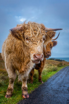 Cuddly highland cow standing on roadside and looking at camera.