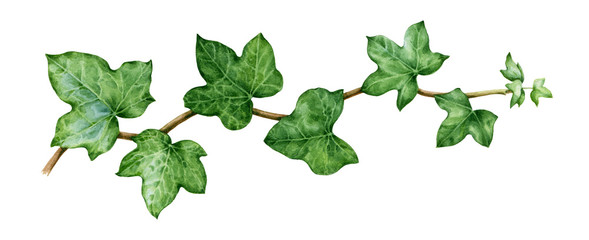 Ivy watercolor illustration. Green lush hedera helix close up image. Fresh botanical green branch with leaves and buds. Garden evergreen plant solated on white background.