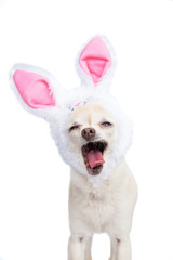 Cute chihuahua wearing bunny ears isolated on a white background studio shot