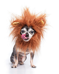 Cute chihuahua with a lion mane studio shot isolated on a white background