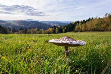 Parasol mushroom, macrolepiota procera fungus in green grass on sunny autumn day, copy space