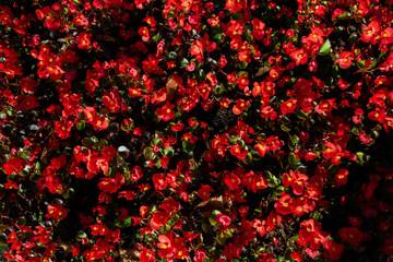 Blooming begonia red flowers in the flowerbed