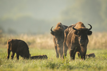 Papiers peints Buffalo European bison - Bison bonasus in the Knyszyn Forest (Poland)