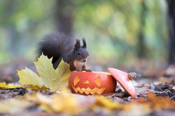 Squirrel looking into a halloween pumpkin