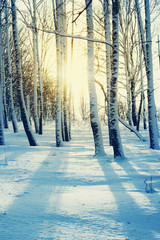 Poster de jardin Bosquet de bouleaux Winter birch grove at sunset, toned. Winter forest. Cold winter landscape