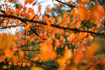 Fire orange maple leaves in the fall