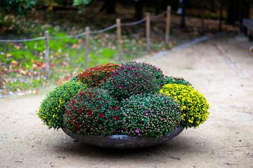 Сhrysanthemum (also known as golden-daisy) on display in Japanese Garden of Hasselt, Belgium