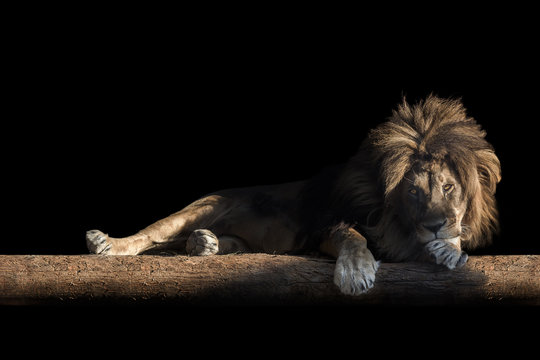 lion lies on a log, isolate on a black background, copy space