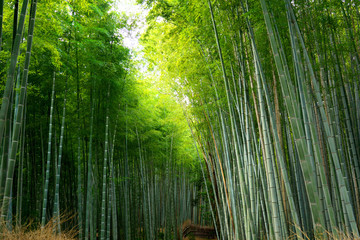 Autocollant pour porte Bambou Kyoto,Japan-September 26, 2019: A path through Bamboo Grove in Arashiyama, Kyoto, Japan in autumn