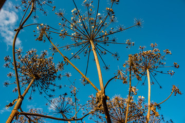 Dry stems and umbrellas with seeds of a poisonous plant Sosnowsky's hogweed (Heracleum sosnowskyi)