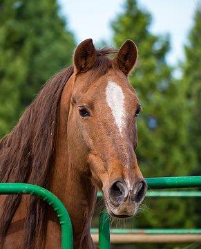 Lots of Go Left in this Senior Morgan Horse