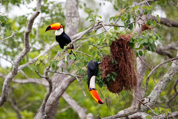 Close up of two Toco Toucans plundering birds nest in a tree, one sitting, one hanging down, Pantanal Wetlands, Mato Grosso, Brazil